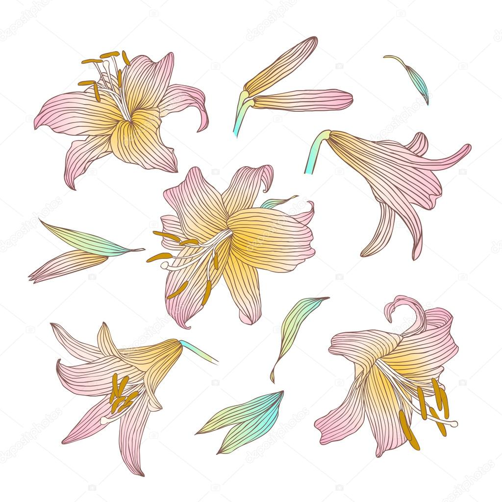 Royal Lily Flowers Collection Stock Vector Ukususha 93020746