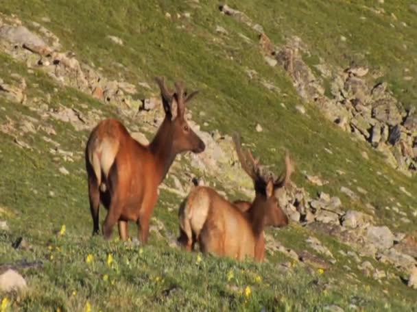 ElkintheRockyMountains Colorado
