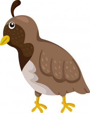 Illustrator of quail