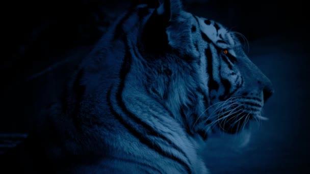 Tygr v noci se zářícíma očima
