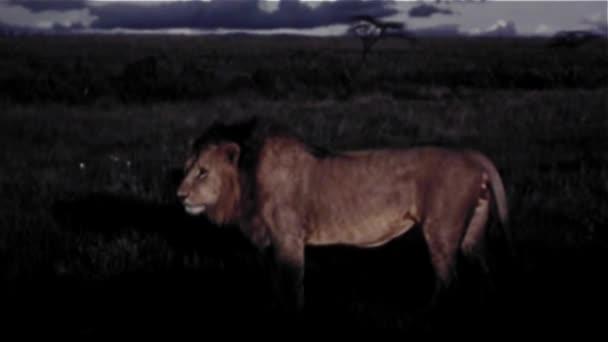Lev v Africe - ročník 8mm
