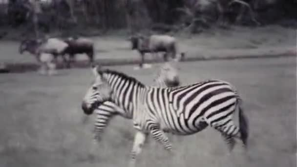 Zebras And Wildebeest - Vintage 8mm