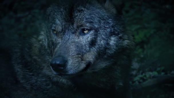 Vlk vrčí v chladném modrém světle v lese