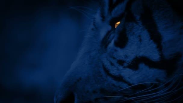 Tigris jön a nézet ragyogó szemekkel