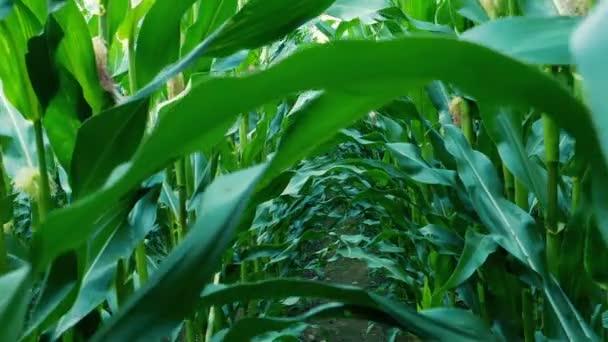 Kukuřičné pole chůze Shot POV