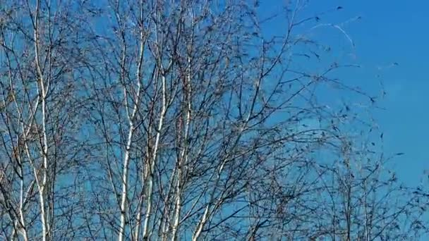 Bare Trees Swaying In Breeze