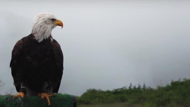 Aquila si guarda intorno e stallieri