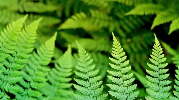 Ferns In Sunlight Loop