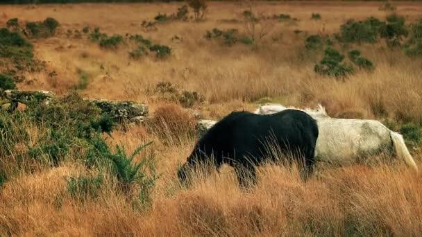 Bílý kůň chodí kolem černého koně pasoucí