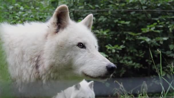 Wolf leckt Lippen und schaut sich um