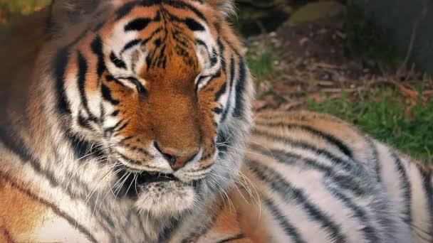 Tygr ležící v lese