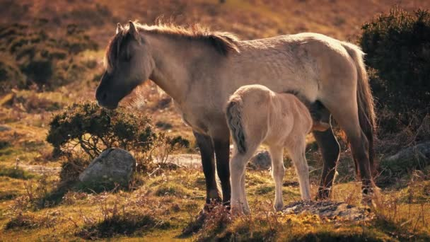 Mother Horse Feeding Foal In Afternoon