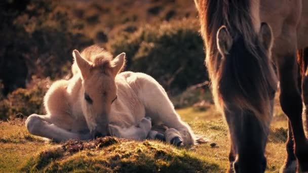 White Horse Foal Lying Near Mother