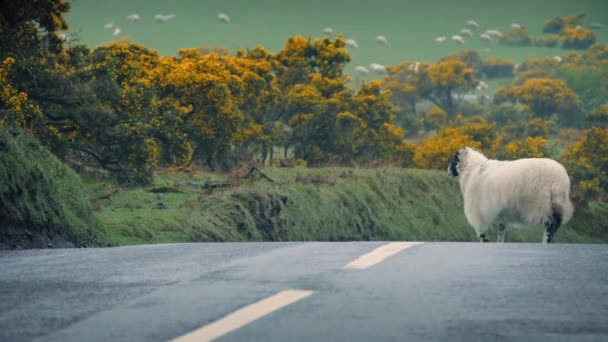 Sheep Leads Lamb Across Road In The Country