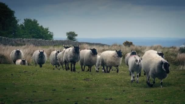 Flock Of Sheep Walking On The Moor
