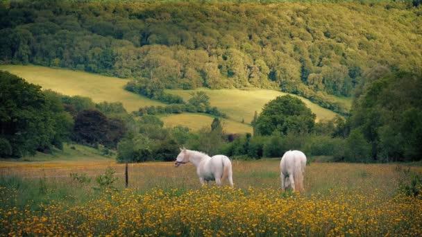 Bílí koně pasoucí se na letní večer