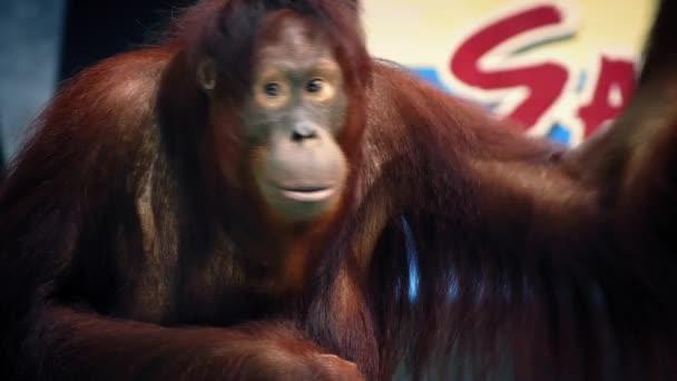 Orangutan v Zoo Show