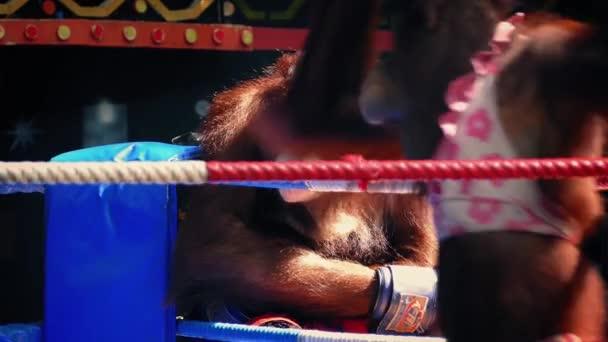 Monkey boxu s orangutany