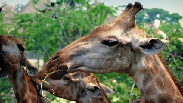 Žirafy jíst v záloze s ptáky na stromech