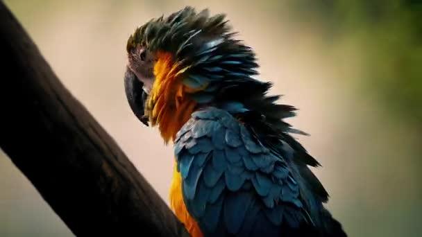 Papagáj fluffs a tollak és squawks