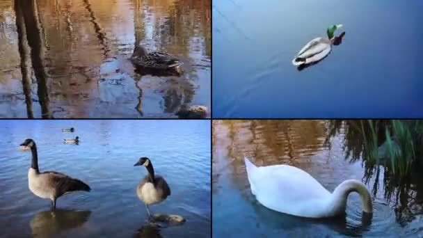 Ducks And Geese Montage
