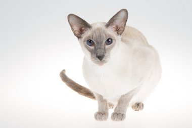 Oriental Blue-point siamese cat. Close-up portrait on a white
