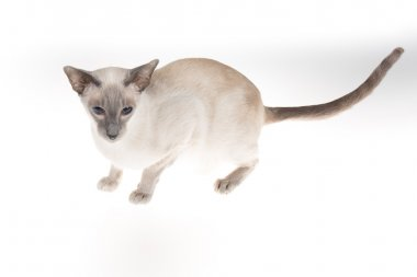 Oriental Shorthair adult  isolated on white background