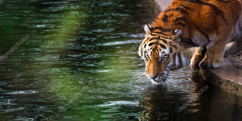 Tiger at the watering