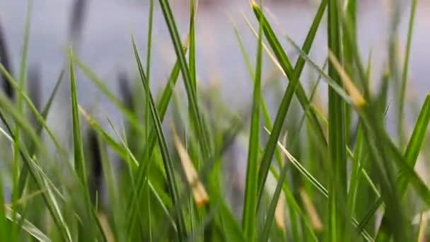 Zelené ostřice, rákosí a trávy kymácí ve větru na jezeře