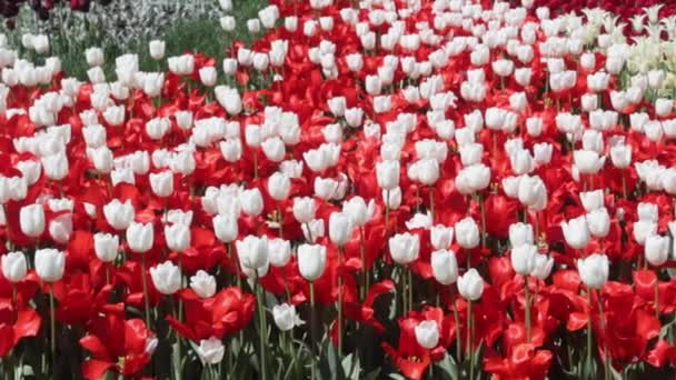 field of red and white  tulips blooming