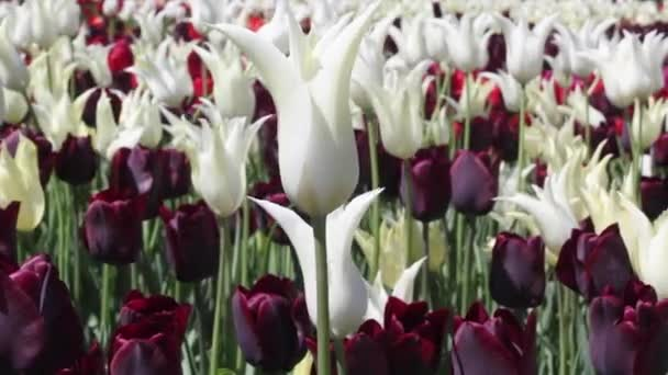 field of white and purple  tulips blooming