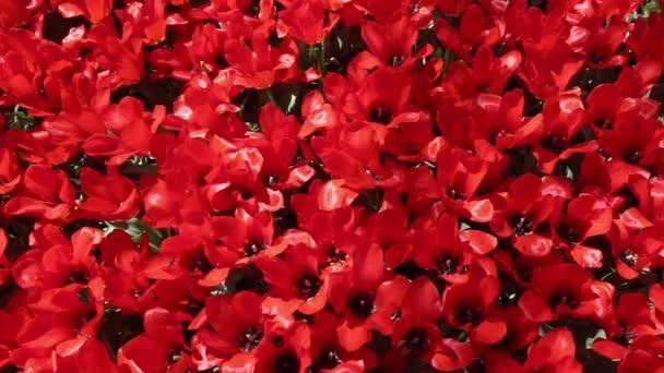 pole červené tulipány, kvetoucí