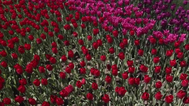 field of red and purple  tulips blooming