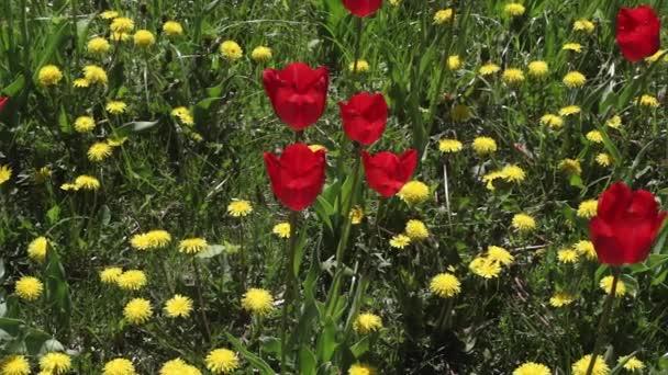 pampelišky a červené tulipány, kvetoucí