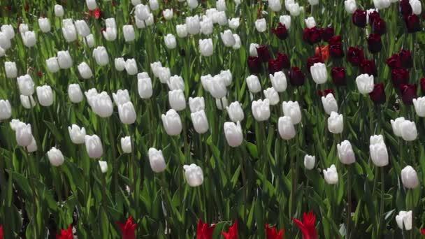 a virágzó piros, fehér és lila tulipán mező