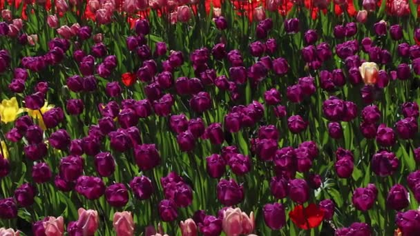 field of pink and purple  tulips blooming