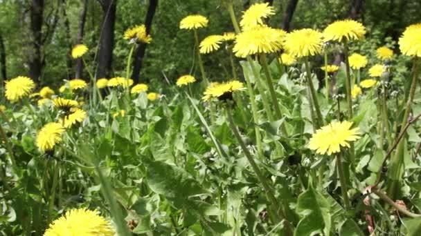 Tavaszi mező. Pitypang virág.