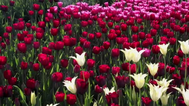 field of  pink, yellow and red tulips blooming