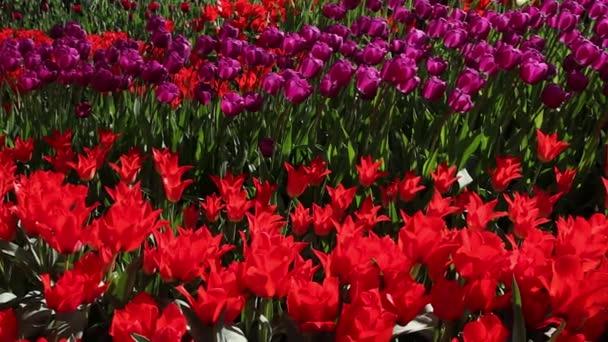 oblasti červené a růžové tulipány kvetoucí