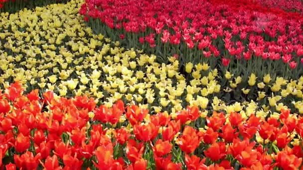 a virágzó rózsaszín, sárga és piros tulipán mező