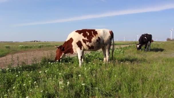 krávy pasoucí se na zelené louce