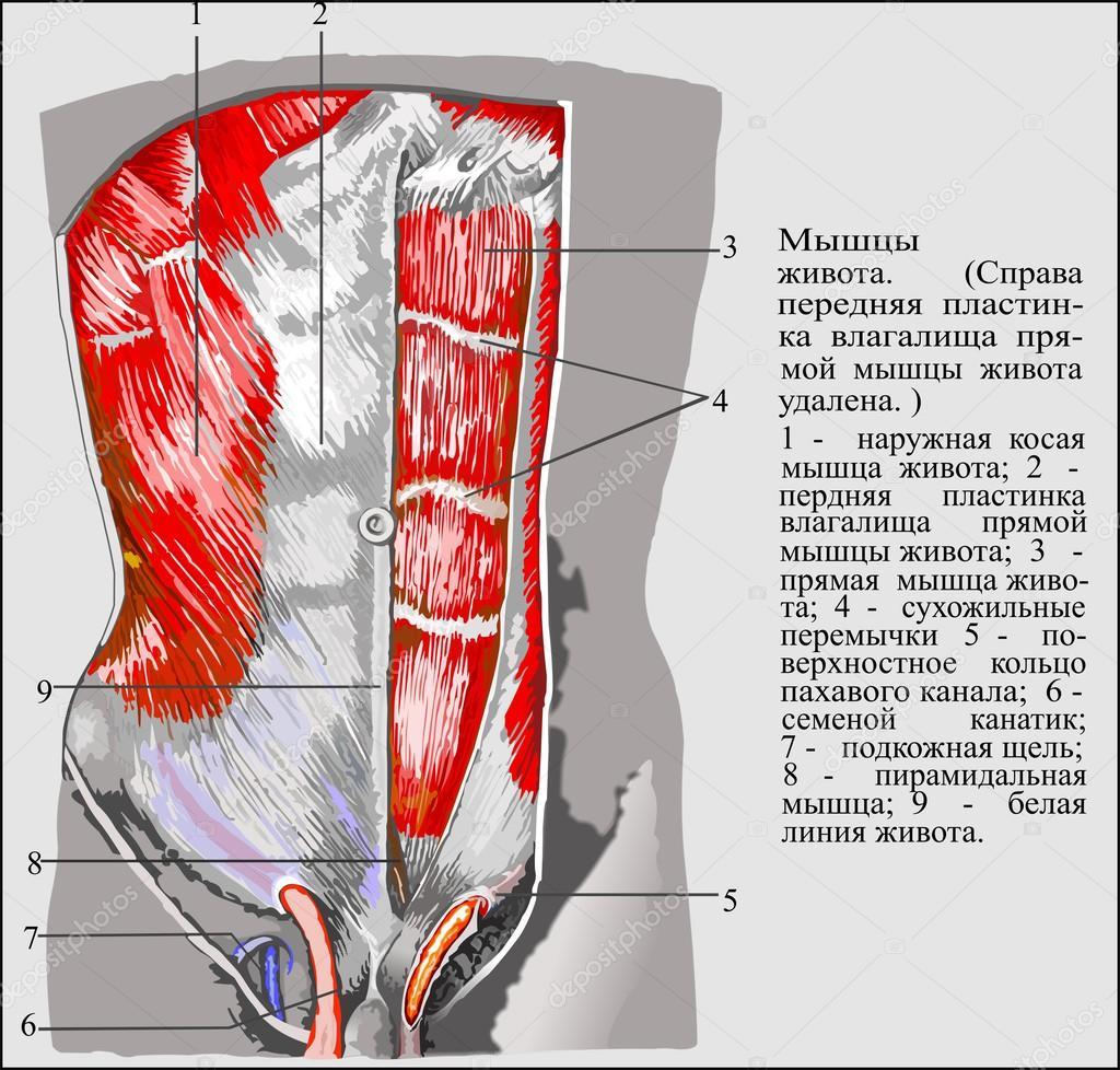 menschliche Anatomie — Stockvektor © Samvelvd #58523403