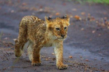 Lion Cub in the Rain