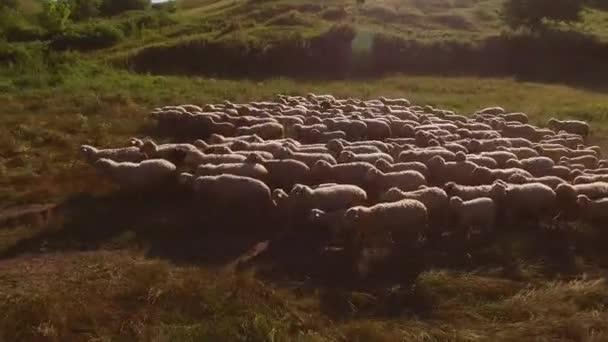 Stádo ovcí a muž.