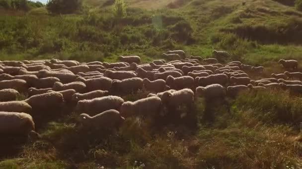 Ovce jdou.