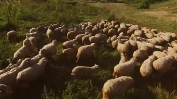 Schafe zu Fuß auf der Wiese.