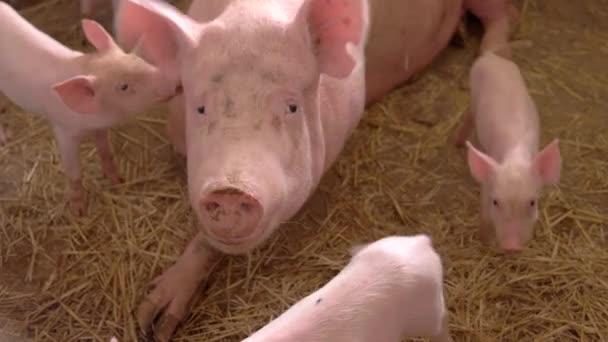 Schwein liegt auf Strohgelb