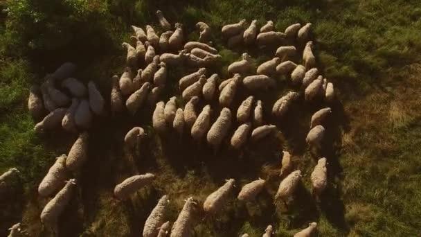 Flock of sheep on meadow.