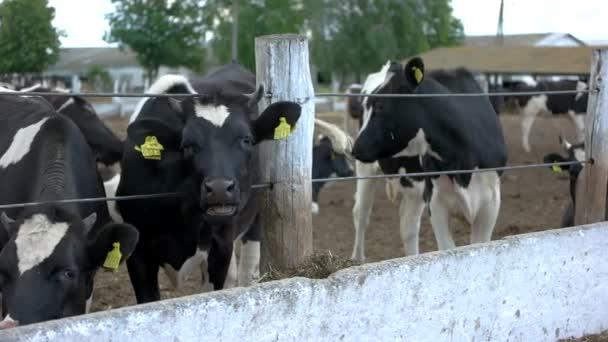 Krávy u plotu