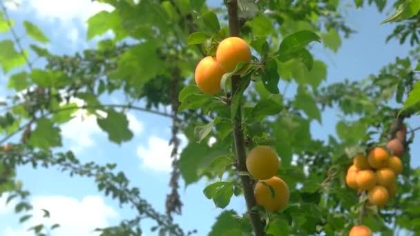 Hand pflückt Früchte vom Baum.
